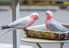 Galahs feeding from a dish outside a restaurant Stock Images