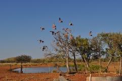 Galahs-Fliegen aus Baum in der australischen Hinterlandwasserstelle heraus Stockfotografie