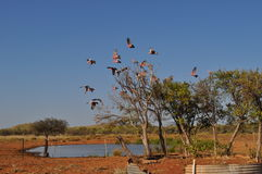 Galahs flying out of tree in australian outback water hole Stock Photography