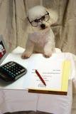 Galan ein Bichon Frise leitet Geschäft an seinem Schreibtisch Lizenzfreies Stockfoto