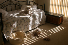 Galan und Fifi entspannen sich morgens Sonnenschein Stockfotografie