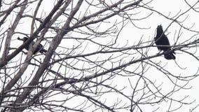 Galande på ett träd arkivfilmer