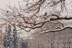 Galande på snöig trädfilial Royaltyfri Foto