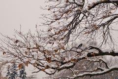 Galande på snöig trädfilial Royaltyfri Bild