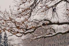 Galande på snöig trädfilial Arkivbilder