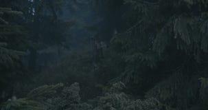 Galande som sitter på en stubbe av ett brutet träd i Carpathiansna i slo-mo lager videofilmer