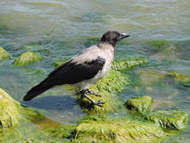 Galandefågel Arkivfoton