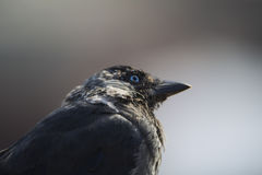 Galandefågel med uttryck Arkivfoto