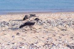 Galanden på stranden Royaltyfria Foton