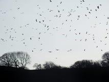 Galanden som flockas över vinterskogträd på skymning arkivfoton