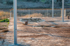Galanden som sitter på staketet i dalen arkivfoton