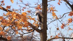 Galandet gör ren fjädrar på ett höstträd stock video