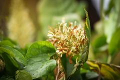 Galangal flower. The galangal blossom is blossoming on the leafy foliage backdrop Stock Images