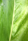 Galangal leaf is refreshing rain drops after rain Royalty Free Stock Photos