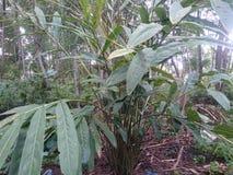 Galangal plant. Galangal herb healthy ingredient food Royalty Free Stock Photos