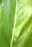 Galangalblatt erneuert Regentropfen nach Regen Lizenzfreie Stockfotos