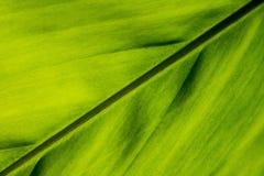 Galangowa liść tekstura Zdjęcia Stock