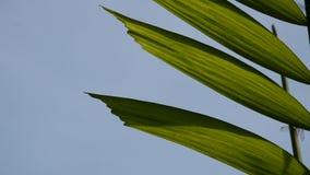 Galangowy liścia spływanie od lekkiego wiatru ciosu na nieba tle w ranku zdjęcie wideo