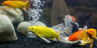 Galanteryjna karp ryba Zdjęcie Royalty Free