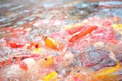 Galanteryjna karp ryba Fotografia Royalty Free