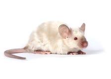 galanteryjna mała mysz Zdjęcia Royalty Free