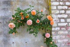 Galanteryjne róże Dołączać Drylować i ściana z cegieł zdjęcie stock