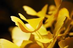 Galanteryjny żółty ginkgo opuszcza w ciepłym wieczór świetle Obrazy Stock