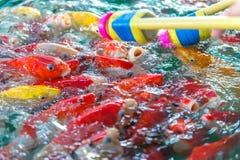 Galanteryjny karp Dużo Japonia rybi lub kolorowy Koi rybi karmienie Obrazy Stock