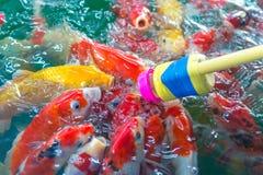Galanteryjny karp Dużo Japonia rybi lub kolorowy Koi rybi karmienie w t Obraz Stock