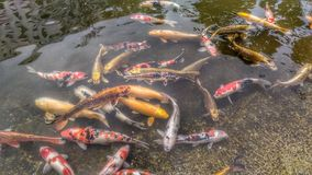 Galanteryjny karp lub Koi rybi dopłynięcie przy stawem Zdjęcie Royalty Free