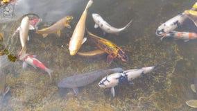 Galanteryjny karp lub Koi rybi dopłynięcie przy stawem obraz royalty free