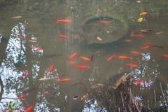 Galanteryjny karpiowy rybi staw Obrazy Royalty Free