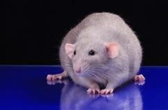 Galanteryjny szczur fotografia stock