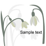 Galanthus Stock Photography