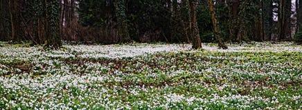 Galanthus Immagini Stock Libere da Diritti
