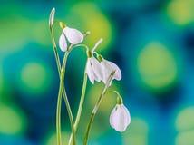 Galanthus blanco florece (snowdrop, flor de la leche), fondo verde del degradee, cierre para arriba En rumano sepa como Ghiocei foto de archivo