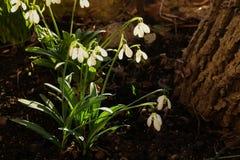 Galanthus botanical snowdrop stock photos