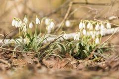 Galanthus - bucaneve - fiore della primavera immagini stock libere da diritti