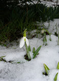 Galanthus debajo de la nieve Imagen de archivo libre de regalías