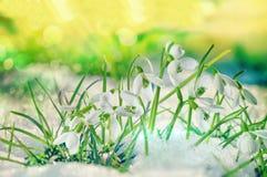 Galanthus en nieve Imagenes de archivo