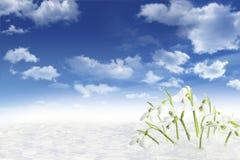 Galanthus en nieve Imagen de archivo libre de regalías