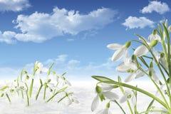 Galanthus i snow Arkivfoton