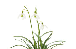 Galanthus nivalis Stock Photography