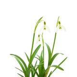 Galanthus nivalis Royalty Free Stock Photography