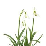 Galanthus nivalis Stock Image