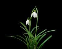 Galanthus nivalis royalty free stock photos