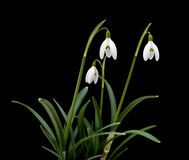 Galanthus nivalis Royalty Free Stock Photos