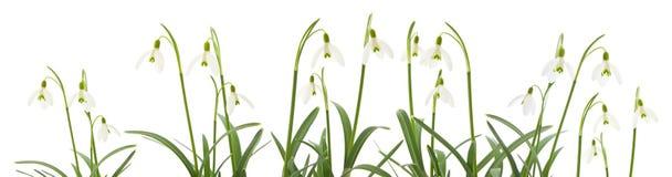 Galanthus nivalis Royalty Free Stock Image