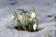 Galanthus nivalis, common snowdrop in bloom, early spring bulbous flowers in the garden. Growing in the snow, late winter early spring, sunlight royalty free stock photos