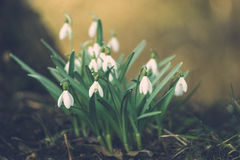 Galanthus nivalis or common snowdrop flowers Royalty Free Stock Image